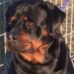 Kratanik Achilles, Vanaheim Rottweilers