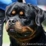 Multi Ch. Uno vom Haus Engel, Vanaheim Rottweilers