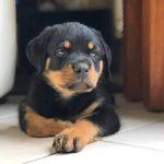 Vanaheim D-litter Puppy
