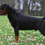 Vico Von Der MaxiRott - Most Titled Rottweiler in the history of the breed and is the father of our Chiquite