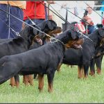 Gonzzo Earl Antonius and his siblings - Gonzzo is one of the dogs integral to our pedigree and breeding program - thought we'd share this picture.